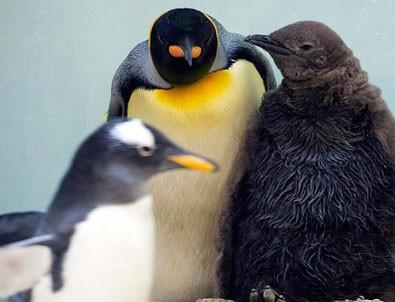 Küresel ısınma kral penguenleri de tehdit ediyor
