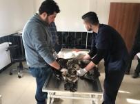 KAFKAS ÜNİVERSİTESİ - Yaralı Kartal Tedavi İçin Kars'a Gönderildi