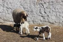MEHMET TURGUT - Kuzular Annelerine Kavuştu, Yaşama Tutundu