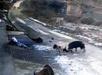 YABAN DOMUZU - Yaban Domuzu Köyde Dehşet Saçtı Açıklaması 1 Ölü, 1 Yaralı