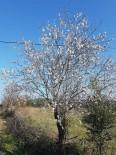 HASAN SARı - Burhaniye'de Bademler Çiçek Açtı