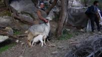 SAVAŞ ÖZDEMİR - Dağda 6 Gündür Mahsur Kalan Keçiyi AKUT Ekibi Kurtardı