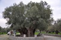 HRISTIYANLıK - Manisalıları Heyecanlandıran Ağaç