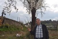 KIŞ MEVSİMİ - Alaşehir'de Erik Ve Kayısı Ağaçları Çiçek Açtı