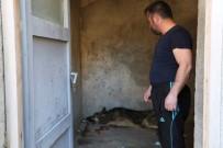 Tırın Çarptığı Yaralı Kurdu Besliyor