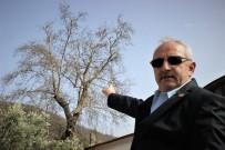 ASIRLIK ÇINAR - 700 Yıllık Çınarı Kurumaya Terk Ettiler