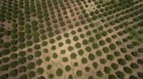 CEVİZ AĞACI - Ormanlar Kırsal Kalkınmanın Lokomotifi Oluyor