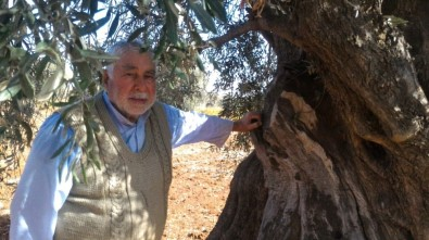 Zeytin ağaçları yüz yıllarca meyve verebiliyor