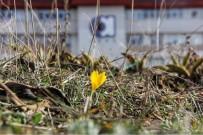 ATıLıM ÜNIVERSITESI - Baharın müjdecisi Ankara çiğdemleri açtı