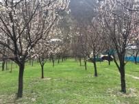DOLU YAĞIŞI - Beytüşşebap'ta Dolu Yağışı Çiçek Açan Ağaçları Vurdu