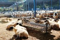 YEREL YÖNETİM - Ege Et kuzu alımına başladı