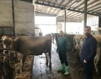 SOSYAL SORUMLULUK - Bademli'ye Avusturya'dan Damızlık Sığır İthalatı