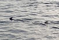 Muğla'da Balıkçıların 'Köpek Balığı' Şaşkınlığı