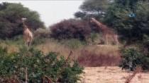 NIJER - Batı Nijer Zürafalarının Nesli Tükenmek Üzere