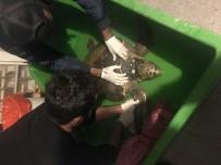 DALYAN - Didim'de Bulunan Yaralı Caretta Caretta Antibiyotik Ve Serum Tedavisi İle Kendine Geldi