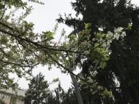 TEVEKKÜL - (Özel) - Yalancı Bahara Aldanan Ağaçlar Çiçek Açtı