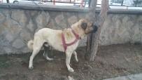 KÖPEK DÖVÜŞÜ - Köpek Dövüşü Yaptıranlara Oltu Polisi Suçüstü Yaptı