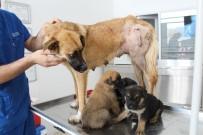 RÖNTGEN - Vicdansızlar 3 Yavrusu Olan Sokak Köpeğini Av Tüfeğiyle Vurdu