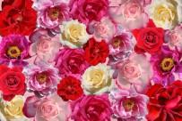 ORTA ASYA - 'Gül, bildiğinizden de farklı bir çiçek'