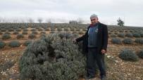 YAĞ FABRİKASI - Tütüne Alternatif Başladı Diğer Çiftçilere Örnek Oldu