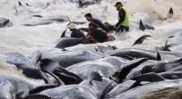 AVUSTRALYA - Avustralya'da 150 Balina Karaya Vurdu