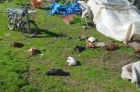 MEHMET ÖZKAN - Sokak Köpekleri, Kümes Hayvanlarını Telef Etti