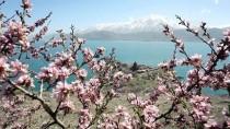 AKDAMAR ADASı - Çiçeklere Bürünen Akdamar Adası'na Ziyaretçi Akını