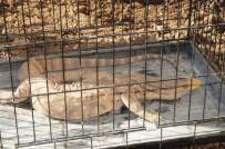 Şırnak'ta Çöl Varanı Bulundu