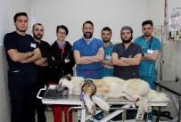 KANGAL KÖPEĞİ - Kangalı Dünyada İlk Kez Uygulanan Yöntemle Tedavi Ettiler