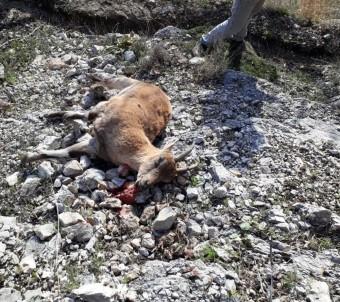 Jandarma Yabani Dağ Keçisi Avlayan Şahısları Yakaladı