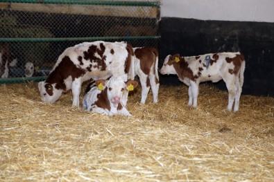 'Üstün Vasıflı' Sığırlar Dünyaya Geldi