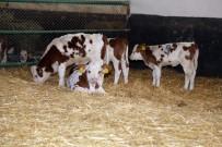 EMBRİYO TRANSFERİ - 'Üstün Vasıflı' Sığırlar Dünyaya Geldi