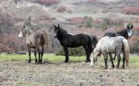 Yılkı Atları Böyle Görüntülendi