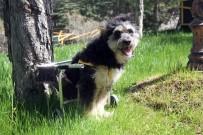 ISPARTA BELEDİYESİ - Engelli Sokak Köpeği 'Minik' Sevgiyle Hayata Tutundu