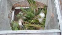 ÇAM KESE - Kargı'da Çam Kese Böceği İle Mücadele Başlattıldı