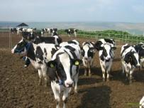 SÜT ÜRETİMİ - Süt Üretimi Kula'nın Yeni Lokomotifi