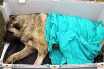 HAYVAN HAKLARı FEDERASYONU - Yaralı Köpeğe VIP Hizmet