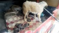 GIRNE - Soğuk Havada Üşüyen Anne Köpek İle Yavruları Barınağa Götürüldü