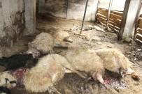 AĞIR YARALI - İkizdere'de Ahıra Giren Kurt 57 Koyunu Telef Etti