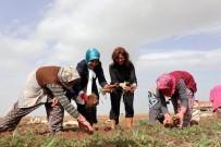 KAŞıNHANı - Başkan Toru, Kadın İşçilerle Havuç Söktü