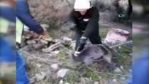 GÖKTEPE - Bodrum'da İtfaiyeden Domuz Kurtarma Operasyonu