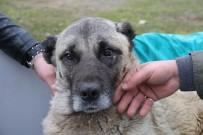 HAYVAN HAKLARı FEDERASYONU - Sivas'ta Tedavi İçin Uçakla İstanbul'a Taşınan Yaralı Köpek Kurtarılamadı