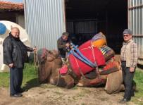 GÜREŞ - Develerini traktörüyle güreşlere hazırlıyor