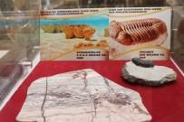 FOSİL - (Özel) 2 Milyar Yıllık Fosil Nevşehir'de Sergileniyor