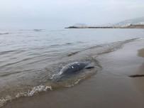 YUNUSLAR - Karadeniz'de Son 11 Günde 37 Yunus Karaya Vurdu