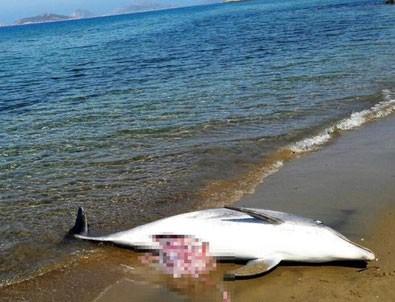 Muğla'da ölü yunus sahile vurdu