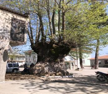 900 yıllık dev çınar koruma altına alınıyor