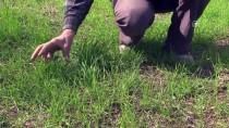 Buğdayın Atası 'Siyez'de Yüksek Verim Beklentisi