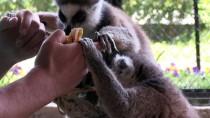 Lemurlar Hayvan Parkının İlgi Odağı Oldu