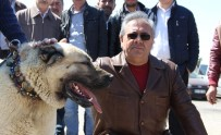 ÇOBAN KÖPEĞİ - Sivas İlginç Bir Yarışmaya Ev Sahipliği Yaptı